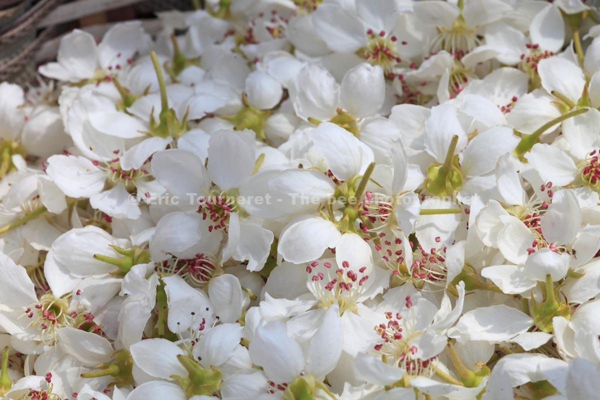 Chine: pollinisation à la main