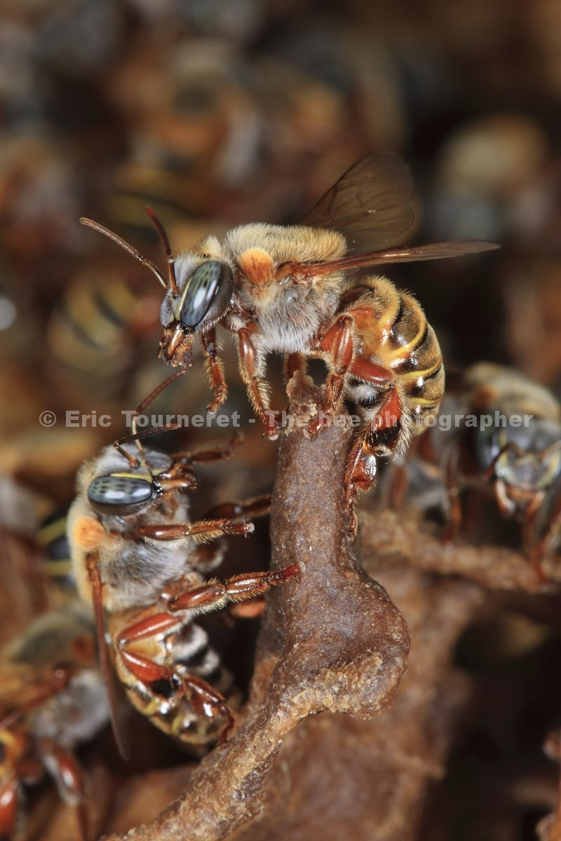 melipona beecheii honeybee Melipona beecheii's wiki: melipona beecheii is a species of eusocial, stingless bees of the order hymenoptera and the genus melipona it.