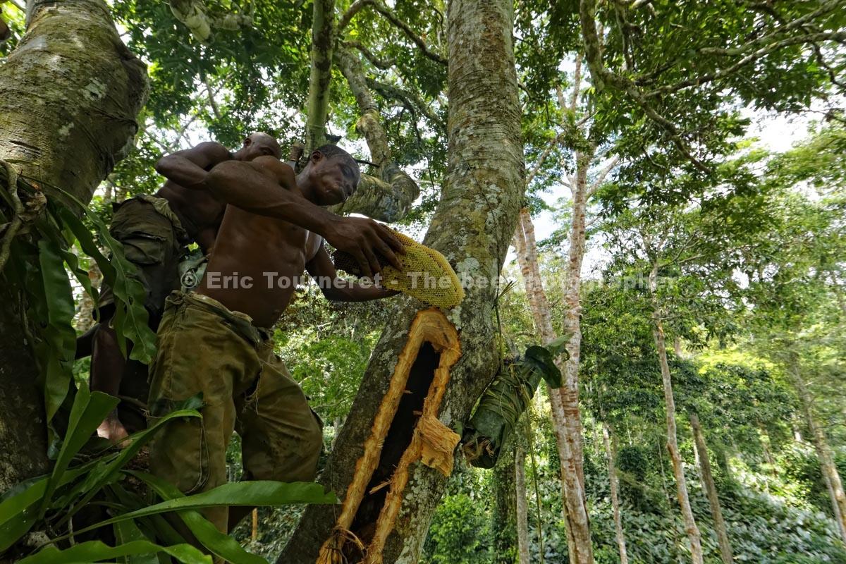 République du Congo: le miel des Pygmées