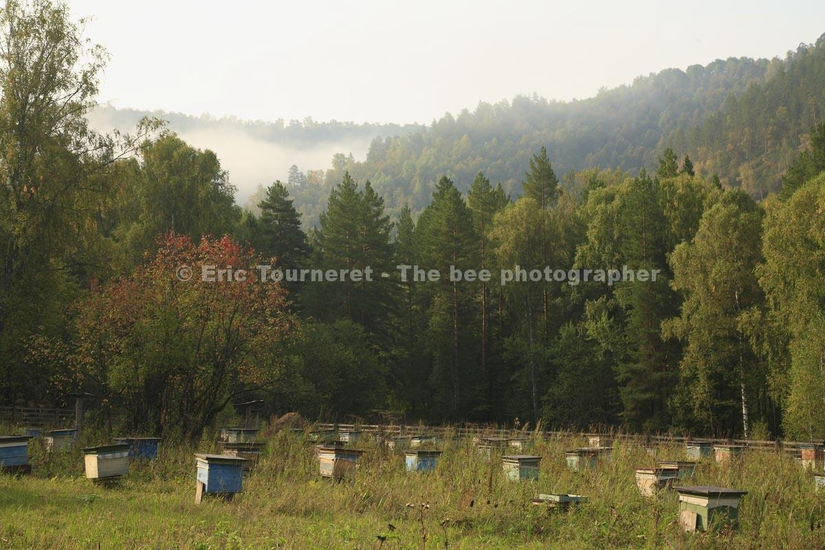 Russie: l'abeille qui venait du froid