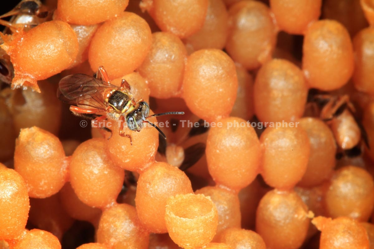 Brazil: Stingless Bee of the Amazon