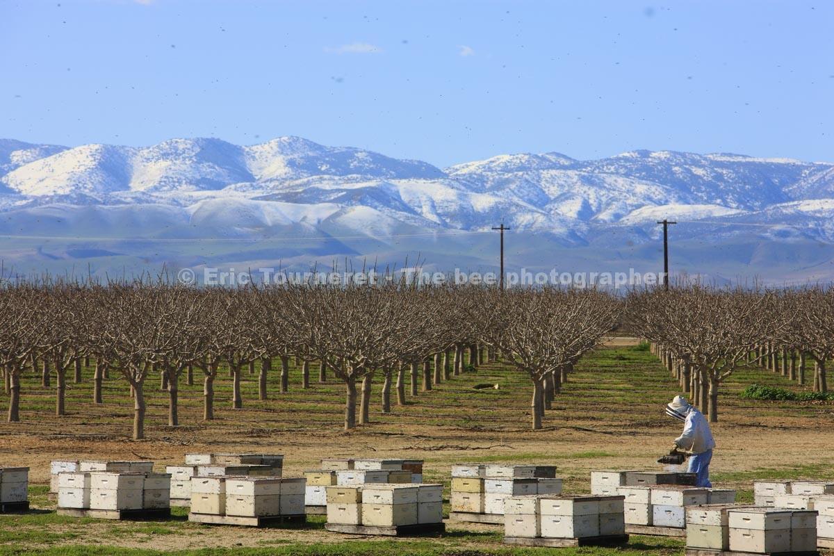 États-Unis: les apiculteurs migrants
