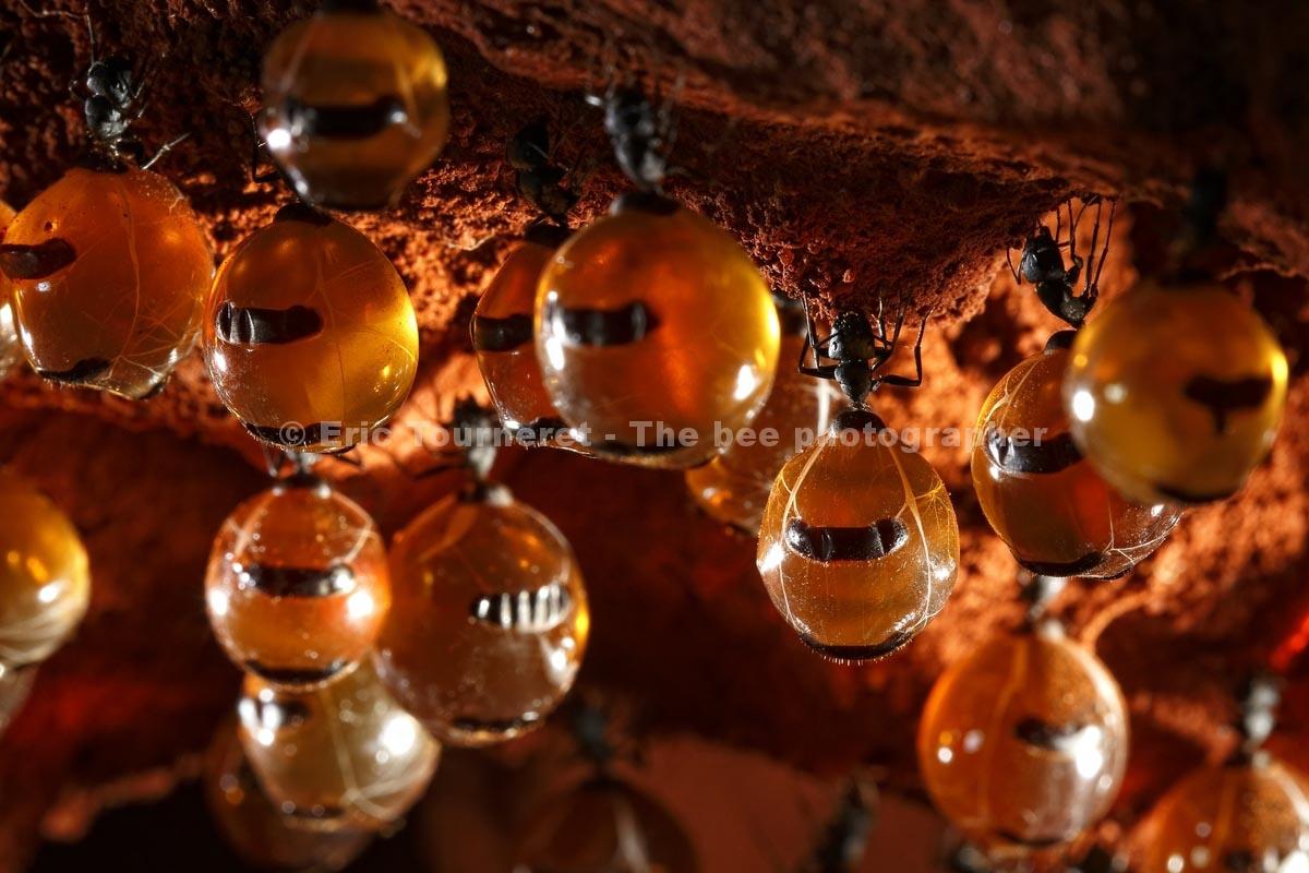 Australie: le rêve des fourmis à miel
