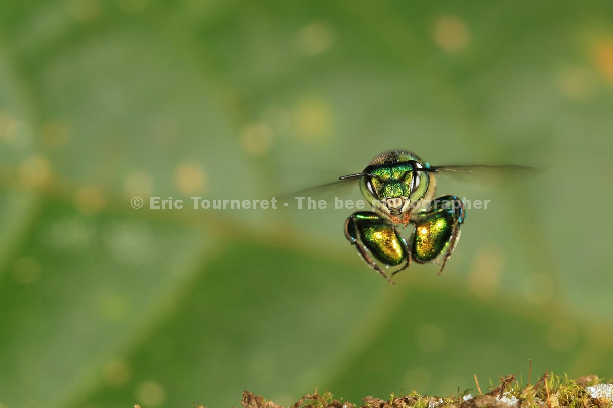 Amérique Centrale: l'abeille sans dard