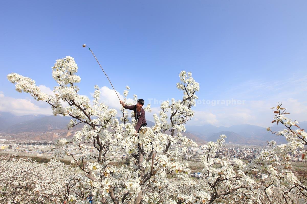 Chine : pollinisation à la main