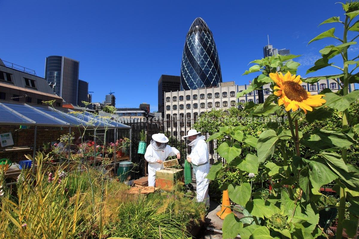 Londres, apiculteurs urbains