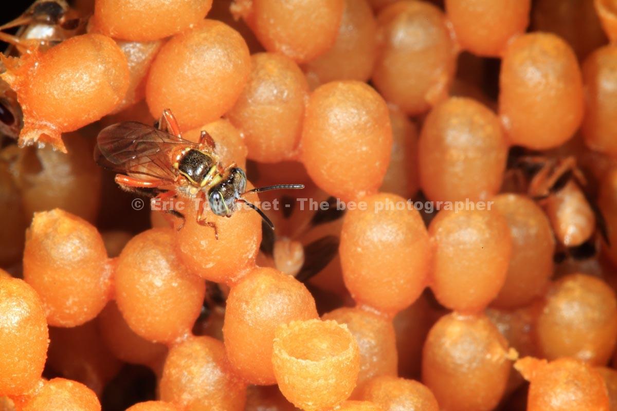 Brésil : abeilles sans dard de l'Amazonie