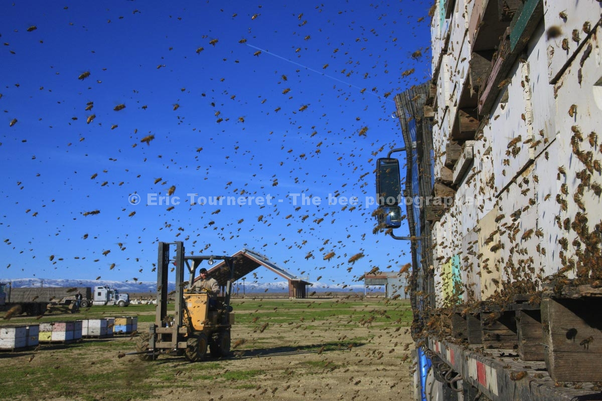 États-Unis : les apiculteurs migrants