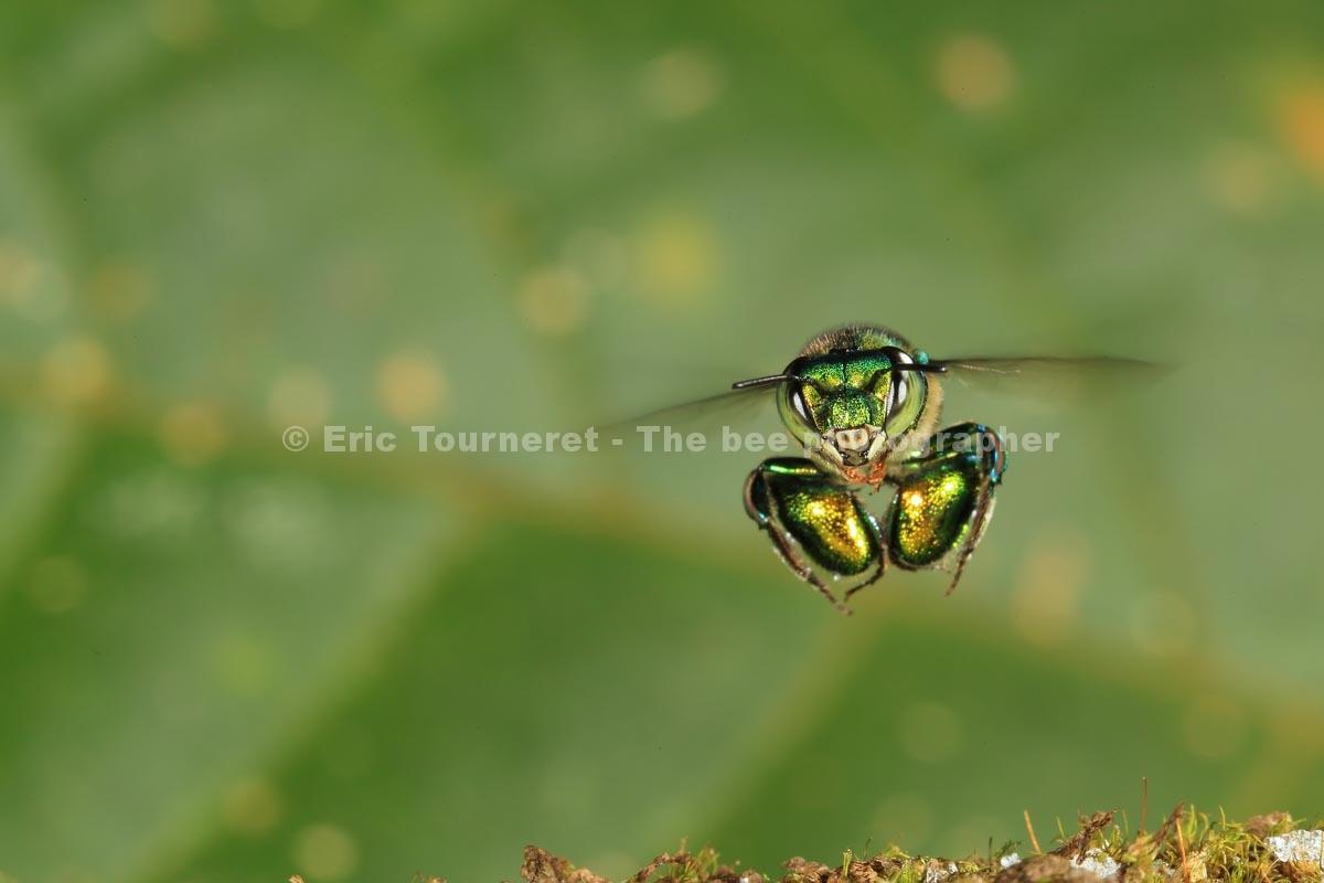 Amérique Centrale : l'abeille sans dard